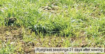 Reseeded Ryegrass